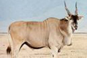 Eland 2 Gallery at Beestpoort Safari in Gauteng