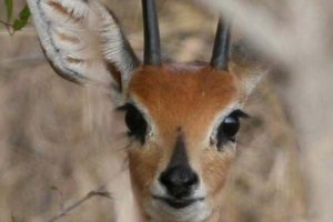Steenbuck 3 Gallery at Beestpoort Safari in Gauteng