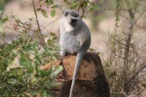 Vervet Monkey Gallery at Beestpoort Safari in Gauteng