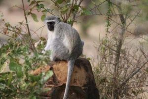Vervet Monkey 2 Gallery at Beestpoort Safari in Gauteng