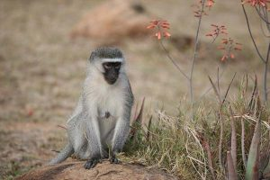 Vervet Monkey 3 Gallery at Beestpoort Safari in Gauteng