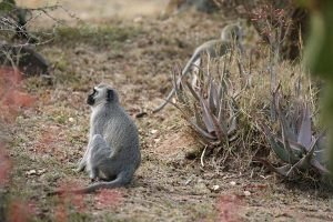 Vervet Monkey 4 Gallery at Beestpoort Safari in Gauteng